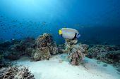 emperor angelfish and ocean taken in the Red Sea. poster