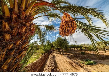 Ripe Dates On A Palm Tree In Palmeraie, Morocco