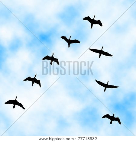 Editable vector illustration of a cormorant flock flying overhead with sky background made with a gradient mesh