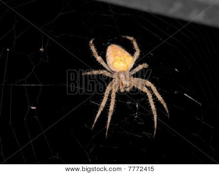 A scary spider, so creepy you can see it's eyes. poster