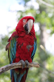 Red Parrot Perched