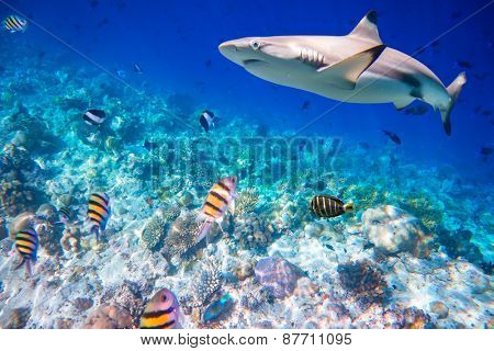 Reef with a variety of hard and soft corals and shark in the background. Focus on corals, sharks are not in focus. Maldives Indian Ocean coral reef.