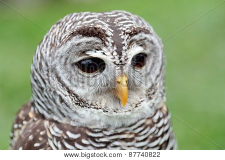 Closeup of the face of a barred owl Strix varia with the beak closed poster