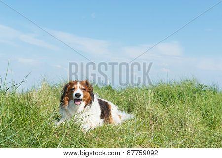 Typical Dutch dog kooikerhondje laying in the dunes