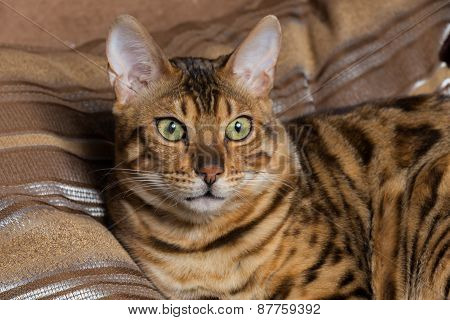 Cat Bengal breed. Pet.