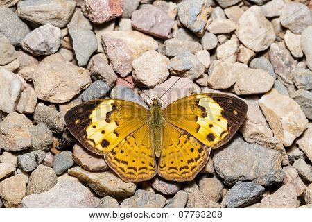Rustic butterfly (cupha erymanthis) resting on floor poster