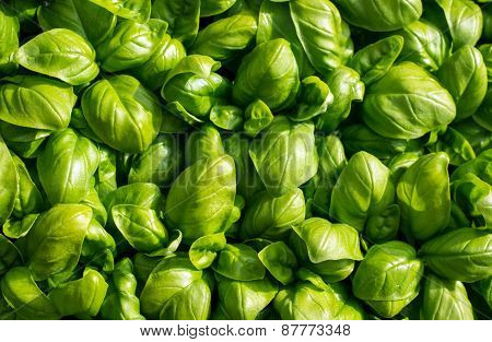 Green Aromatic Mediterranean Basil Leaves All Close Together