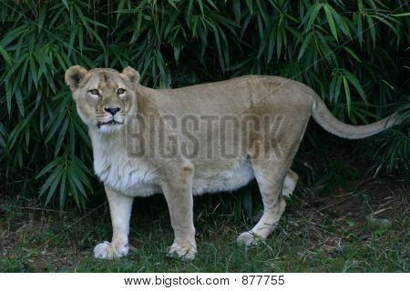 Lioness In The Open