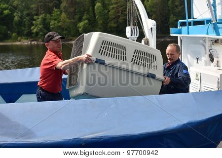 VALAAM ISLAND, RUSSIA - JULY 29, 2015: People carrying the cage with Ladoga ringed seal from the ship. Animals were cured in the Center of study and conservation of marine mammals and released