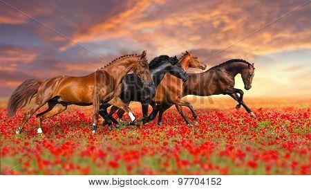 Four horse run gallop