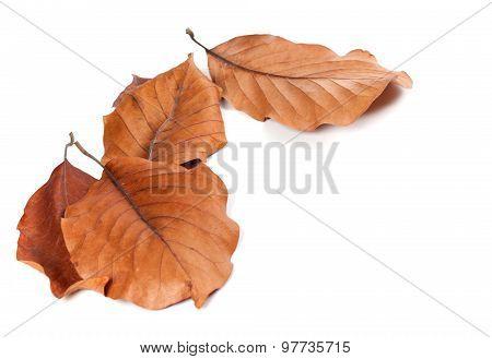 Dry Autumn Leafs Of Magnolia