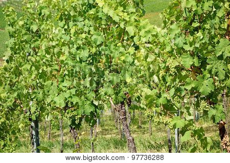Vine Stock In The Vineyard