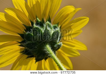 The Bristly Green Underside Of A Bright Yellow Sunflower