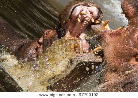 Two Fighting Hippos (hippopotamus Amphibius)