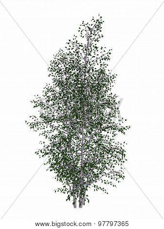 Grey birch, betula populifolia tree - 3D render