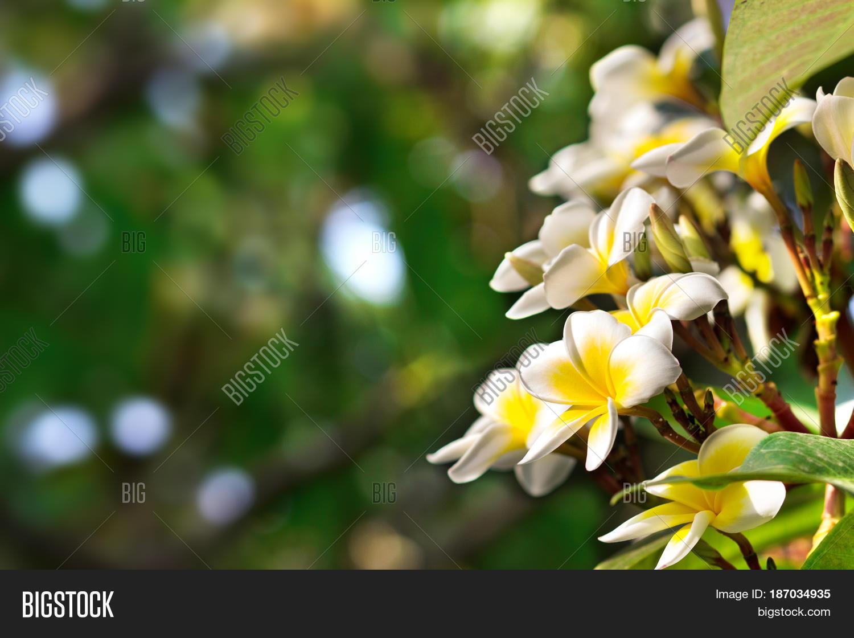 Blossoming Mango Tree Image Photo Free Trial Bigstock
