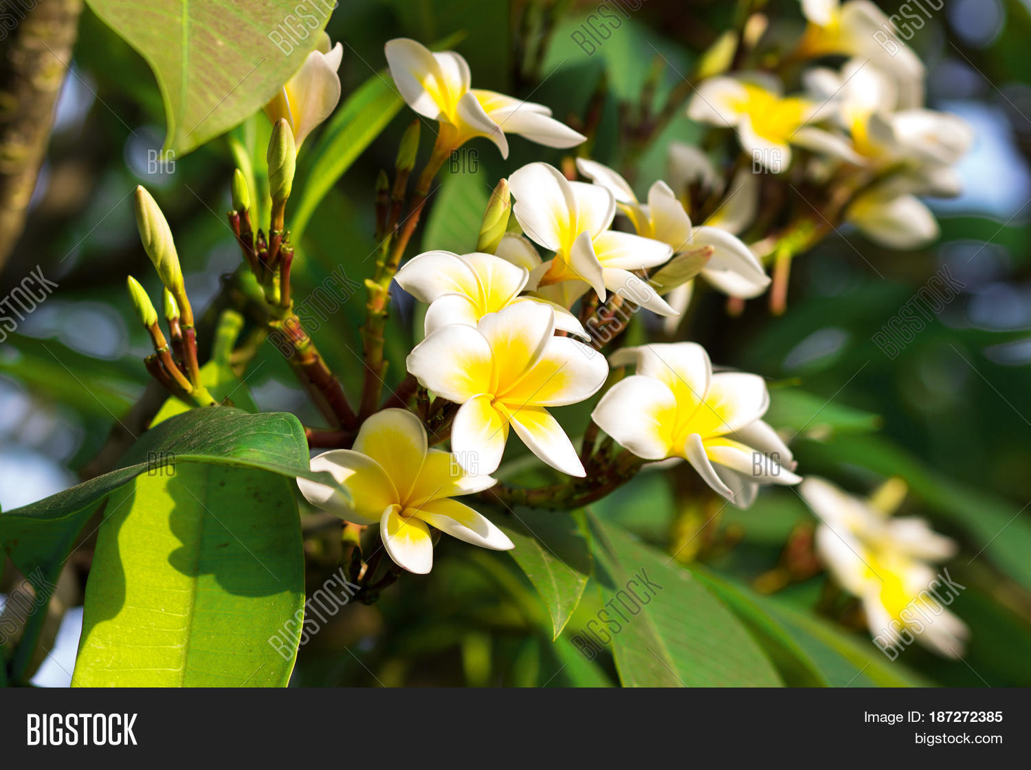 Blossoming mango tree image photo free trial bigstock blossoming of mango tree mango flower consists of 5 petals of white on the edges and mightylinksfo