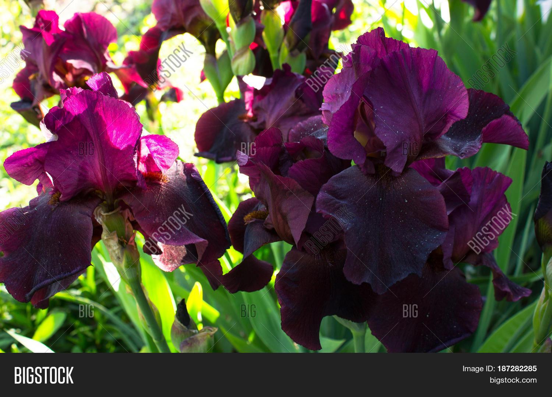 Close Flower Bearded Image Photo Free Trial Bigstock