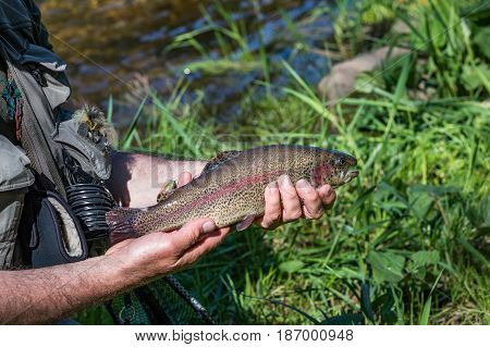 Beautiful rainbow trout in the hands of a fisherman. Trout fishing on the Otace River. Fly on Otava South Bohemia. Czech Republic