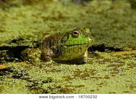Frog in the swamp poster
