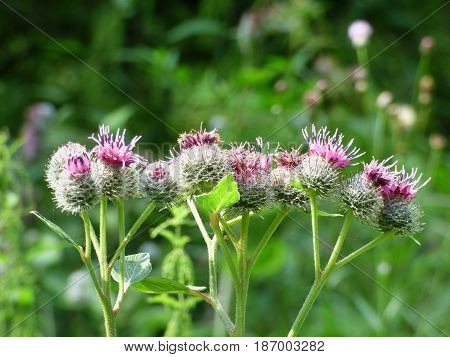 Burdock flower and bumblebee against a blurred background forest. Selected focus.