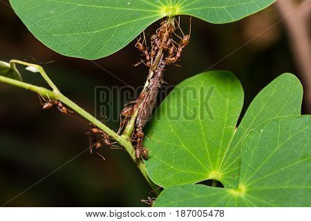 Teamwork Of Red Weaver Ants