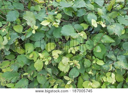 Green and yellow leaves - natural background. Lot of fresh foliage, eco wallpaper with place for text.