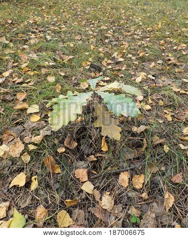 Small oak sprout among dry fallen leaves in the forest. Selected focus.