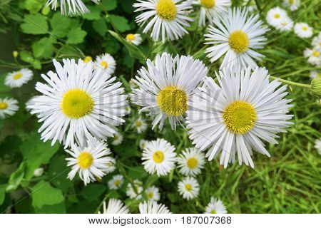 Chamomile against blurry background with over chamomiles. White flowers and green leaves. Sunny summer day. Selected focus.