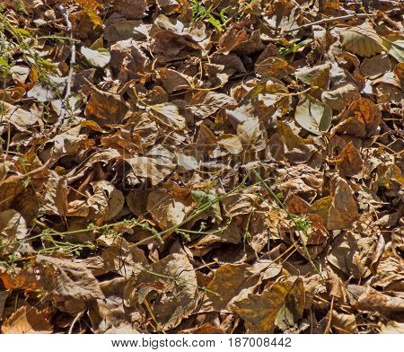 Autumn leaves background. Lot of dry fallen foliage. Brown poplar and birch leafage.