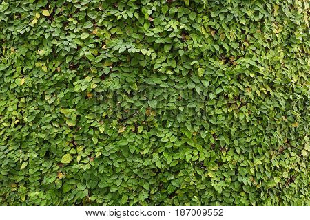 Creeping Fig as wallpaper nature background Climbing Fig, Creeping Rubber Fig, has a small leaf shaped like a heart. This plant is native to Australia and Asian countries. It is used for decorative fence, walls and gardens to look shady, refreshing and na
