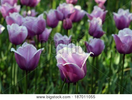 Fringed lilac tulips in the Royal Keukenhof Park Holland
