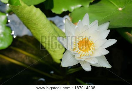 Beautiful white waterlily or lotus flower blooming in the pond.