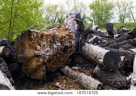 cut down old trees lying on the forest background
