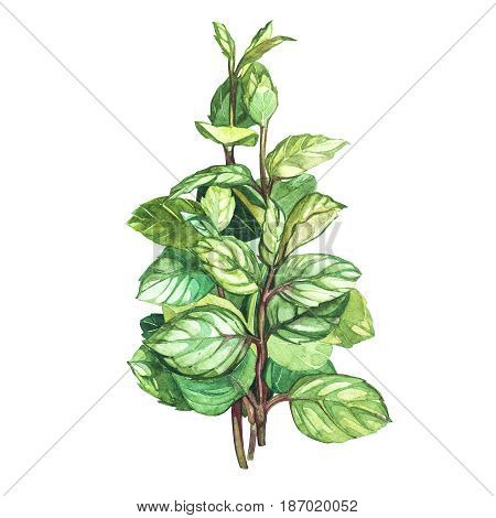 Botanical drawing of a oregano. Watercolor beautiful illustration of culinary herbs used for cooking and garnish. Isolated on white background