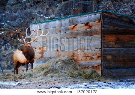 Elk on a ranch eating hay standing next to a shed