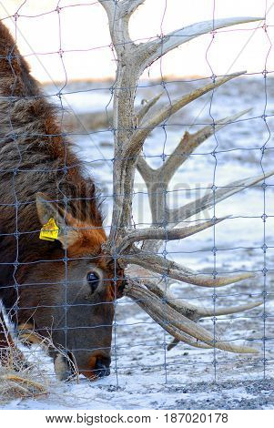 Elk on a ranch eating hay next to a fence in winter