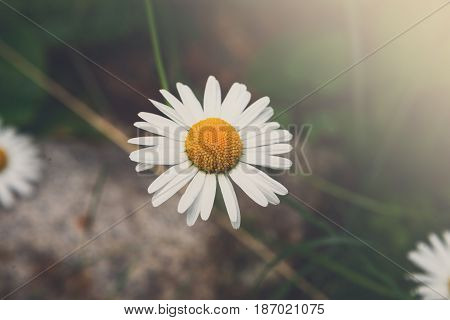 Beautiful daisy flower background, top view. Bright chamomiles or camomiles meadow. Summer in the garden.