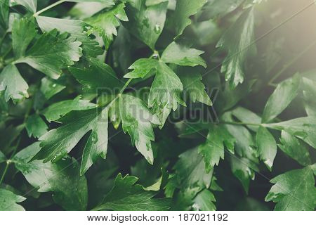 Closeup leaves of parsley, green background. Fresh herb in garden