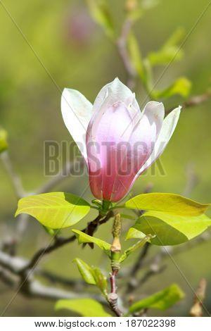 Close up shot of white Magnolia flower