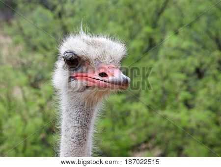 Portrait of one male ostrich looking slightly to viewers right. Green bushes in background. The ostrich is a large flightless birds native to Africa. Males have a pink beak