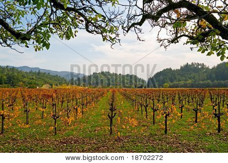 Vineyard in Napa Valley in Autumn at sunset