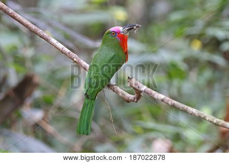 Red-bearded Bee-eater Nyctyornis Amictus Birds Of Thailand