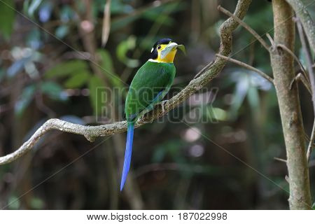 Long-tailed Broadbill Psarisomus Dalhousiae Cute Birds Of Thailand