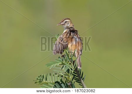 Zitting Cisticola Cisticola Juncidis Cute Birds Of Thailand