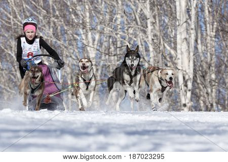 PETROPAVLOVSK-KAMCHATSKY KAMCHATKA PENINSULA RUSSIA - FEBRUARY 23 2017: Runs dog sled young Kamchatka musher Krivogornitsyna Kristina. Kamchatka Kids Competitions Sled Dog Race Dyulin (Beringia).