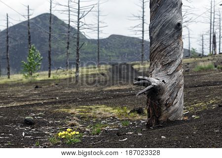 Kamchatka volcano landscape: burnt tree (larch) on volcanic slag and ash in Dead Forest (Dead Wood) - consequence of natural disaster - catastrophic eruptions Tolbachik Volcano during on 1975-1976.