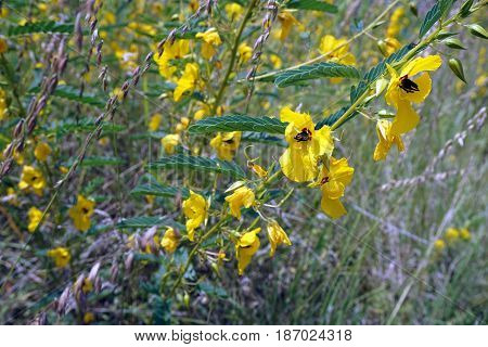 Partridge pea plants (Chamaecrista fasciculata) bloom next to a small lake in Joliet, Illinois during August.