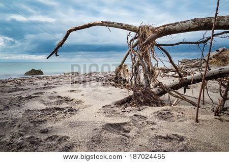 Overthrown tree on shore of the Baltic Sea.