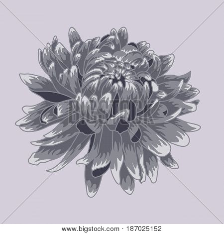 Blue pastel colored chrysanthemum. Colored and lined chrysanthemum flower